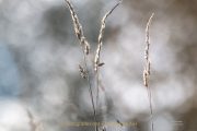 Monatsthema Gräser / Ähren - Fotograf Joachim Clemens