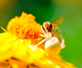 Monatsthema Insekten auf Blüten - Fotograf Albert Wenz