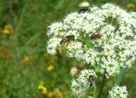 Monatsthema Insekten auf Blüten - Fotograf Helmut Joa