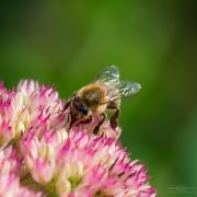 Monatsthema Insekten auf Blüten - Fotograf Clemens Schnitzler
