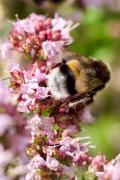 Monatsthema Insekten auf Blüten - Fotograf Henry Mann