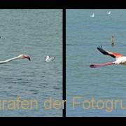 AnneJ_Sequenz-Flamingoflug