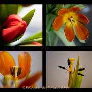 AnneJ_Sequenz-Tulpe