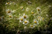 Kamillenblüte - Fotograf Olaf Kratge