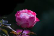 Rosenblüte mit Morgentau - Fotograf Olaf Kratge