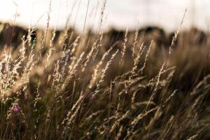 Gräser / Ähren